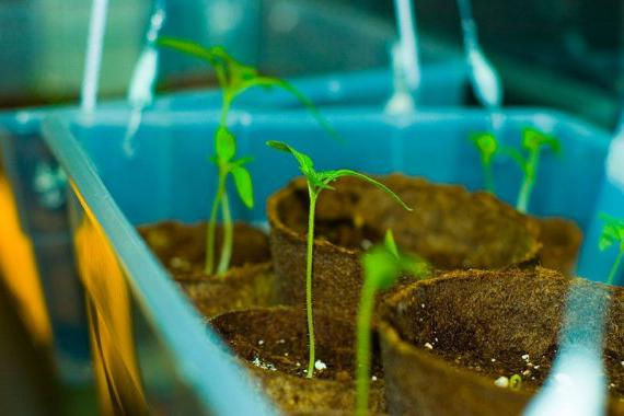 Срок годности семян помидоров %